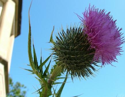 Scotland - thistle